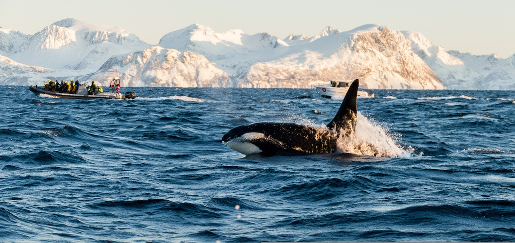 spekkhogger safari i lofoten hvalsafari
